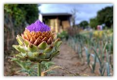 Tricolore (au35) Tags: artichaut legume fleur jardin couleurs colors nikon d5000