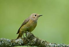 Common Redstart (f) (J J McHale) Tags: bird nature wildlife commonredstart redstart scotland
