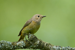 Common Redstart (f)