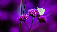 violet (Yasmine Hens) Tags: violet papillon butterfly flower fleurs hensyasmine namur belgium wallonie europa aaa belgi belgia belgien  belgique blgica   belgie  belgio    bel be