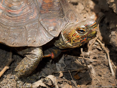 19. Cerro Montoso, Nicaragua-2.jpg (gaillard.galopere) Tags: 2016 apn america amrique animaux continentsetpays g11 ni nic nicaragua travel volcan ameriquecentrale animal animauxsauvages anne compact powershot tortue tortuga turtle volcanes volcano wildlife