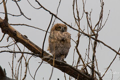 This Great Horned Owl owlet doesn't seem to like the rain
