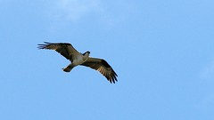 Osprey, Western Waterfront Trail, 04/29/15 (TonyM1956) Tags: tonymitchell westernwaterfronttrail duluth stlouiscounty minnesota nature birds raptors birdofprey osprey sonyphotographing sonyalphadslr