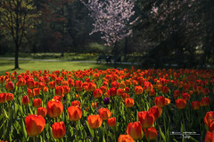 Tulip (naddesigns) Tags: red flower green beautiful spring bed purple fresh tulip lala gul tulipe tulpe bahar  beautifulflowers tulipn  phool bellesfleurs flowersarefabulous   schneblumen