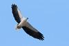 White-bellied sea eagle (M Hooper) Tags: beach garie royalnationalpark birdinflight whitebelliedseaeagle