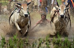s May23_Pacu Jawi_DSC_7356 (Andrew JK Tan) Tags: indonesia cows action racing bulls jockey padang splashes tanahdatar pacujawi