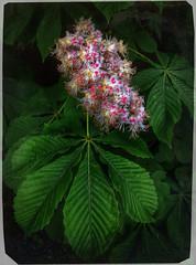 2015/05/15 (Artvet) Tags: chestnutflowerplantfloweringnature