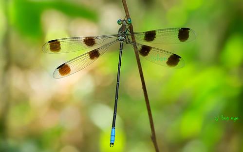 แมลงปอเข็มปีกแผ่ใหญ่แปดจุด / Orolestes octomaculata