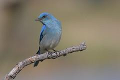 MountainBluebird_DSC_3267 (Willi Braun) Tags: