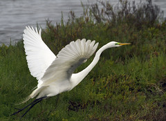 I'm Looking for a Love (pavonne) Tags: bird flight greatwhiteegret pavonne