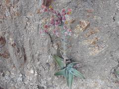 Dudleya lanceolata (lanceleaf liveforever) plant (MikeMalaska) Tags: wildflowers liveforever dudleya deukmejian