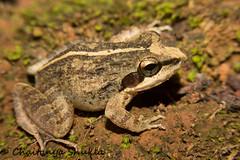 IMG_9382 (Chaitanya Shukla) Tags: india amphibian frog maharashtra leapingfrog ambolimay2015