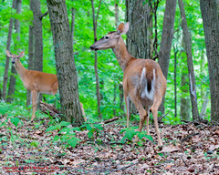 Radnor Lake State Natural Area - May 21, 2015 (mikerhicks) Tags: usa geotagged sam unitedstates nashville hiking tennessee wildlife ruth whitetaildeer tennesseestateparks radnorlakestatepark radnorlakestatenaturalarea oakhillestates canon7dmkii sigma18250mmf3563dcmacrooshsm canoneos7dmkii geo:lat=3606041000 geo:lon=8679161000