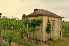 Week 10 - Shed on a vineyard (Frau Heimlich) Tags: old house green window project germany vineyard spring wine outdoor fenster schuppen shed may mai cw week grün luxembourg grapevine 52 mosel wein saarland frühling weinberg moselle saarlorlux rebe drausen
