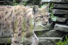 Karpatenluchs (catnip254) Tags: cat bigcat katze lynx raubkatze luchs carpathianlynx karpatenluchs