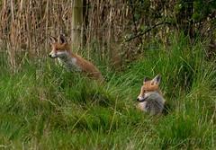 Having a look (s.jonesphotography) Tags: uk wild england nature nikon wildlife yorkshire fox