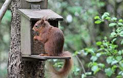 Red Squirrel (pauline s....) Tags: squirrel redsquirrel lochleven