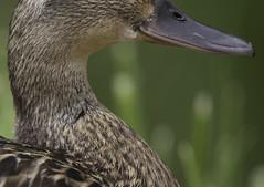 100crop3 (Sauer Fotografie) Tags: nature animal duck natuur dier eend vogel 2015