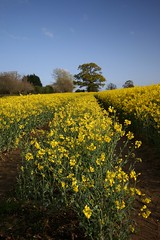 Field of Gold (Taracy) Tags: field yellow gloucester rapeseed