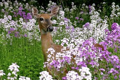 Deer in Wildflowers (Ken Mattison) Tags: park flowers light flower color colour nature animal fauna wisconsin flora dof outdoor doe depthoffield deer wildflowers floraandfauna whitnallpark panasoniclumix milwaukeecountyparks fz1000