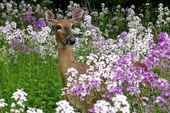 Deer in Wildflowers (Ken Mattison) Tags: park flowers light flower color colour nature animal fauna wisconsin flora dof outdoor doe depthoffield deer wildflowers floraandfauna whitnallpark panasoniclumix milwaukeecountyparks fz1000