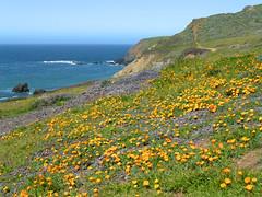 4/5/16 10:10 (joncosner) Tags: california flora marin marinheadlands northbay rodeobeach ggnra 2016 stars2