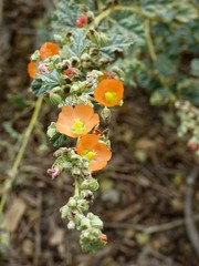 Indian Mallow (abutilon palmeri) (E. Stipke) Tags: orange flower nature yellow indian center mallow abutilon shipley palmeri