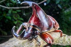 Rhinoceros beetle (Xylotrupes gideon) - DSC04251 (nickybay) Tags: macro gideon singapore wideangle scarabaeidae xylotrupes chestnutavenue dynastinae