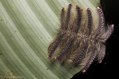Weirdo (antonsrkn) Tags: wild hairy macro peru nature animal night forest insect outside leaf nikon nocturnal natural wildlife small moth caterpillar jungle nikkor biology prickly larvae larva invertebrate entomology sanmartin tarapoto