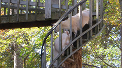 county line orchard. 2015 (timp37) Tags: county stairs october indiana orchard line goats winding 2015