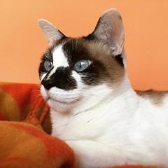 Lisboa reflexiona, en su rincn elegido, sobre el drama y la magia de la existencia humana... y sonre dentro de su gatidad... (valerianuciari1) Tags: cat lisboa gato gata gatita