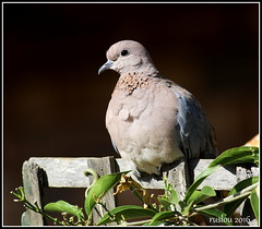 Laughing Dove (Streptopelia senegalensis) (Special upload for my friend Willie van Schalkwyk) (ruslou (on & off)) Tags: nature southafrica dove pretoria laughingdove streptopeliasenegalensis ruslou rooiborsduifie
