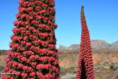 Tajinaste rojo del Teide.. (yayolorenzo) Tags: rojo tajinaste