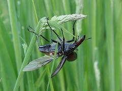 Stag Beetle (Lucanus cervus) (flikrnik) Tags: stag olympus stagbeetle wokingham 75mm lucanuscervus lucanus cervus