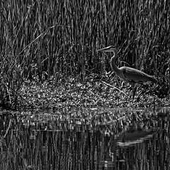 Blue Squared (brev99) Tags: blackandwhite reflection bird monochrome pond greatblueheron tallgrass d7100 ononesoftware tamron70300vc perfecteffects10
