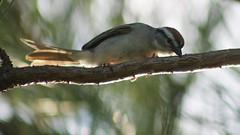 chipping sparrow (Moon Rhythm) Tags: usa bird nature small maryland easternshore mybackyard pinewoods chippingsparrow rufous spizellapasserina passerine carolinecounty 6816 grayrump rustycrown blackstripethrueye