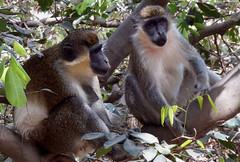 Gambia 7 (megegj)) Tags: animal monkey gert