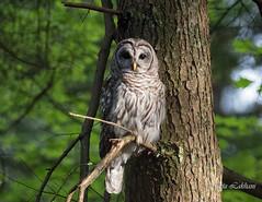 Barred Owl (Maja's Photography) Tags: trees wild portrait canada nature birds forest wildlife feathers wilderness top20 raptors owls barredowl naturephotography owlsbirds
