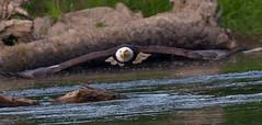 Riverbend BG River flight # 43 07-31-2016 (jonathan.pratt14) Tags: birdinflight bif haliaeetusleucocephalus americanbaldeagle adultbaldeagle baldeagle nikond3 sigma150600mmf563 raptor washingtonstate wildlifephotography riverbendeagles birdofprey