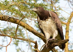 Martial Eagle (Explored 07/14/2016) (JDA-Wildlife) Tags: africa nikon explore johnny uganda explored eaglemartial nikond7100 tamronsp150600mmf563divc jdawildlife ugandaafrica2016 whatbirdugandaafrica