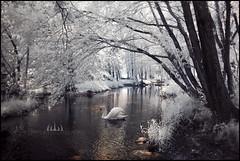 Garden Of Eden (Midnight - digital) Tags: white tree water garden ir weird swan spectrum outdoor invisible atmosphere eerie infrared