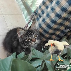 My lunch...  #Baloo (4 months old)  #mainecoonkitten #mainecoon #mainecooncat  #kittens #cats #pets #funnycat #chicken #lumyer (romeosilverpersian) Tags: lumyer mainecoonkitten baloo cats mainecooncat kittens mainecoon chicken pets funnycat