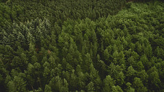 Spruce (Soap Creatives) Tags: quiet england tree trees pine pinetrees pov artistic artisticphotography forest woods green guisborough landscape color colour colors colours view minimal minimalistic