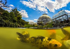 Over / Under (Notkalvin) Tags: domeport koi fish underwater gopro notkalvin mikekline notkalvinphotography belleisle detroit michigan scrippsconservatory pond koipond outdoor animal waterproof