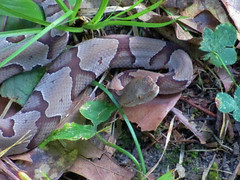 copperhead (slider5) Tags: copperhead snake ms