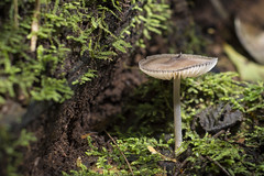 Cogumelo de chapu (Jonathan Johnny) Tags: cogumelo fungo mushroom macro fungi musgo natureza nature