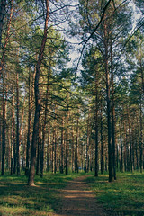 Pathway (gwilwering) Tags: forest landscape nature outdoor pathway pine pinetree trees       tyumen siberia   sonya350