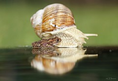 Begegnung  / chance encounter  (2) (Ellenore56) Tags: 12082016 weinbergschnecke schnecke snail helixpomatia escargot ediblesnail schnirkelschnecke helix cites besondersgeschtzt erdkrte froschlurch lurch frosch bufobufo rana jungtier toad europeantoad commontoad bufo amphibie amphibian frog midgetfrog verylittle tier animal lebewesen creature natur nature fauna tierwelt garten garden begegnung chanceencounter encounter detail makro macro moment augenblick sichtweise perception perspektive perspective reflektion reflection reflexion farbe color colour licht light inspiration imagination faszination magic magical sonyslta77 ellenore56 schneckenwetter snailweather
