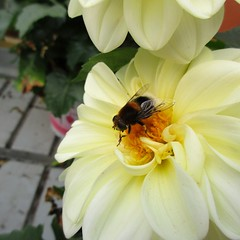Pretending to be a bee (JulieK (finally moved to Wexford)) Tags: hoverfly mimic invertebrate flower fauna insect ireland irish hfdf fly diptera 2016onephotoeachday canonixus170 dahlia wings wexford macro eristalisintricarius