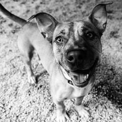 Quadress13Aug1600186-Edit.jpg (fredstrobel) Tags: dogs pawsatanta phototype atlanta blackandwhite usa animals ga pets places pawsdogs decatur georgia unitedstates us